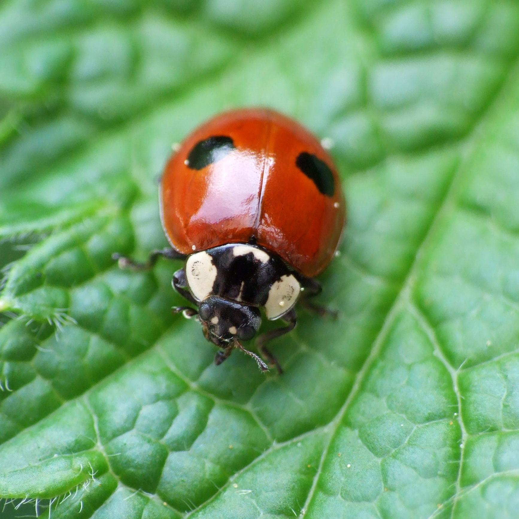 ladybirds - photo #6