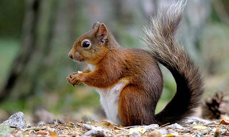 redsquirrel-1w