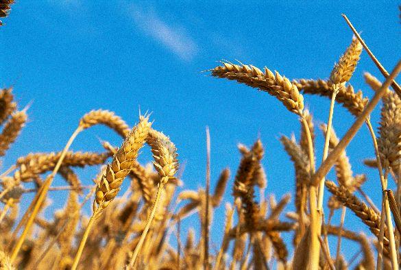wheat-585