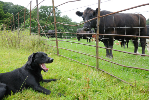 cow looking at cattle through a fence