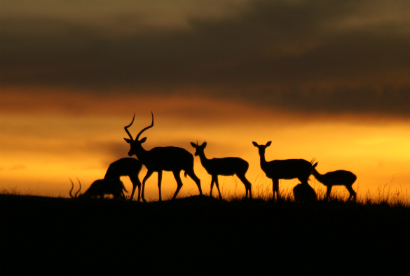 Impala antelopes in silhouette against the sunset.
