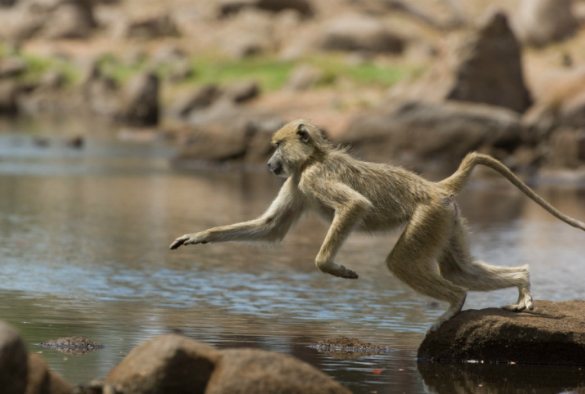 A monkey hopping off a rock