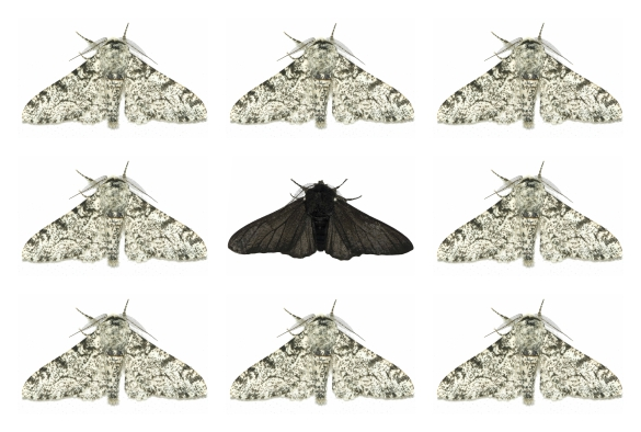 black peppered moth amongst pales ones