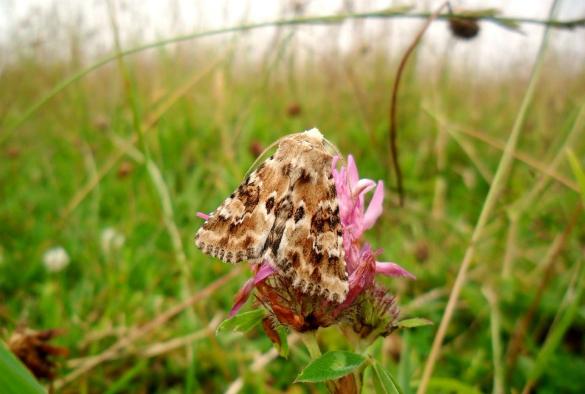 The Dusky Sallow moth, Eremobia ochroleuca