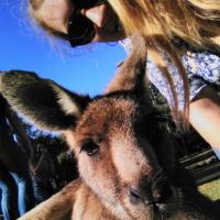 kangaroo-h