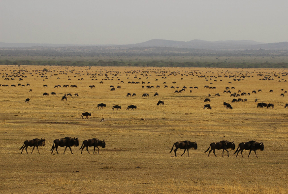 wildebeest  migration  in  Serengeti  -  credit  James Probert.jpg