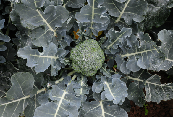 Close up of a brassica plant