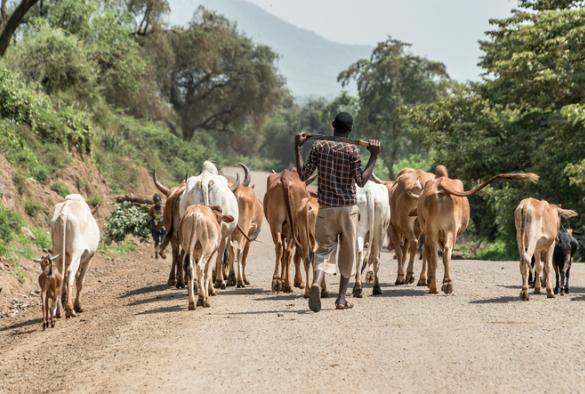 Livestock in road in Africa