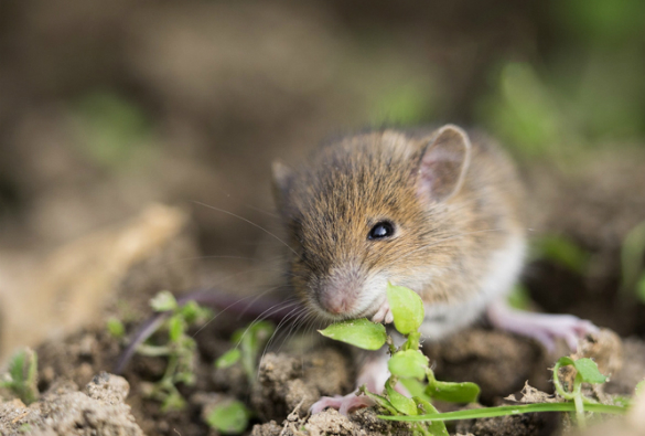 a house mouse in the garden