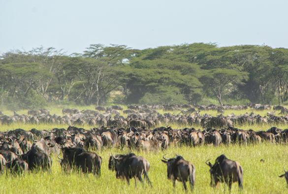 Wildebeest_Jason Donaldsonweb