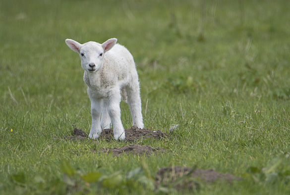 A lamb in a field