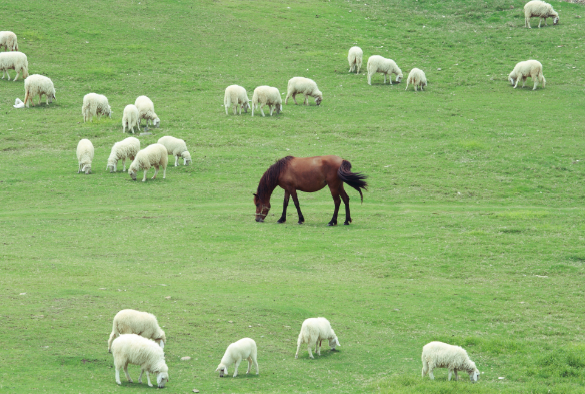 A horse grazing in a field with sheep