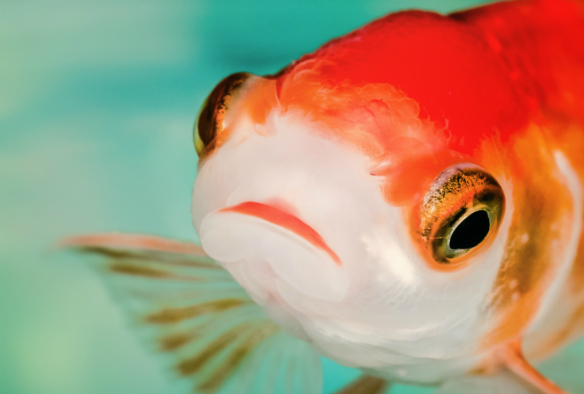 goldfish eyes
