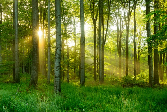 Green Natural Beech Tree Forest illuminated by Sunbeams through Trees